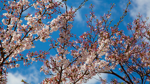 Sakura | © camknows via Flickr